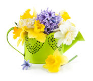 Spring flowers in green watering can Royalty Free Stock Photos