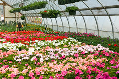 Spring flowers in greenhouse. A view of fresh, new spring flower seedlings and plants growing in a nursery greenhouse or hothouse Stock Image