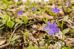 Spring flowers growing in the forest. Royalty Free Stock Photo