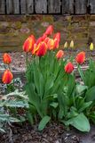 Spring flowers growing in a home garden, yellow tulips and red and yellow tulips, brick wall in the background, springtime in the. Pacific Northwest stock images