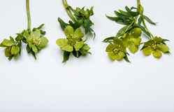 Spring flowers, hellebore. Spring flowers.White background.Herllebore in white background. Retro. Vintage. Green colors Stock Photo