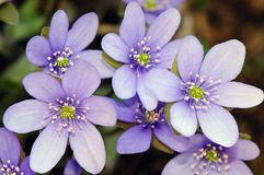 Spring flowers - Hepatica (Hepatica nobilis). Close up of hepatica (Hepatica nobilis) flowers Royalty Free Stock Images