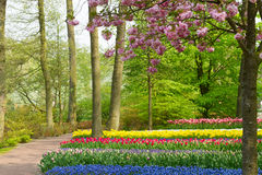 Spring flowers in holland park. Colorful spring cherry tree with tulip  flowers  in holland park Keukenhof, Netherlands Stock Image