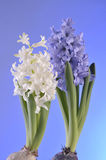 Spring flowers of hyacinth  on blue background Royalty Free Stock Photography