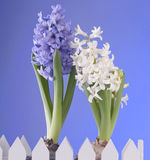 Spring flowers of hyacinth  on blue background Stock Photos