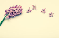 Spring flowers, hyacinth. Clean background Royalty Free Stock Photos