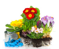 Spring flowers hyacinth, crocus and primula Royalty Free Stock Photography
