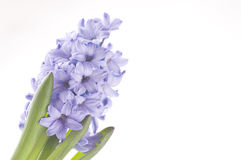 Spring flowers of hyacinth  isolated on white Royalty Free Stock Image