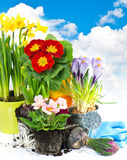 Spring flowers hyacinth, narcissus and primula Royalty Free Stock Images