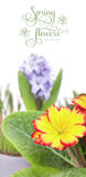 Spring flowers, hyacinth and yellow primula, isolated on white Stock Photos