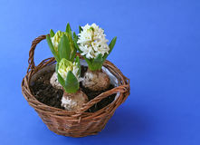 Spring flowers hyacinths in basket Royalty Free Stock Photos