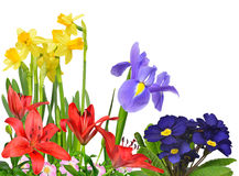Spring flowers. Isolated on white background Royalty Free Stock Image