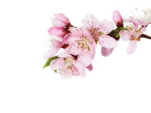 Spring flowers isolated Royalty Free Stock Image