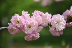 Spring flowers japanese cherry Stock Image