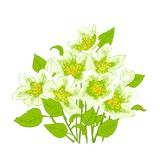 Spring flowers jasmine. Fresh jasmine flowers on a white background. Card with the spring flowers. Vector illustration of graphic jasmine flowers Stock Images