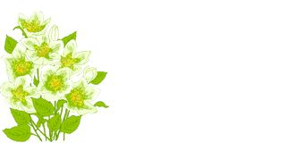 Spring flowers jasmine. Fresh jasmine flowers on a white background with space for text. Card with the spring flowers. Vector illustration of graphic jasmine Stock Photos