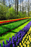 Spring flowers in Keukenhof park Royalty Free Stock Images