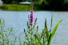 Spring flowers on the lake stock image