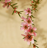 Spring flowers of leptospermum pink cascade Stock Photography
