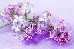 Spring flowers lilac Royalty Free Stock Photography