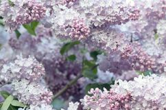 Spring flowers of lilac Royalty Free Stock Images