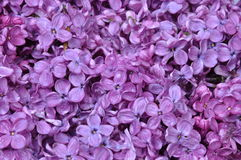 Spring flowers of lilac Stock Image