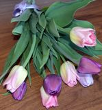 Tulip, tulips, flower, spring, pink, bouquet, flowers, , white, nature, floral, purple, bunch, green, blossom, bloom, beau Royalty Free Stock Image