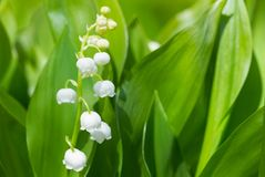 Lilies of the valley blossom in springtime Royalty Free Stock Photo