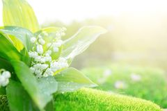 Spring flowers lilies of the valley in morning. Nature background stock images