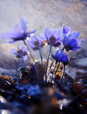 Spring flowers. Liverworts flowers. Stock Images