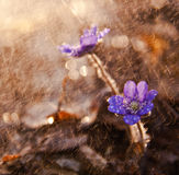 Spring flowers. Liverworts flowers. Royalty Free Stock Photo