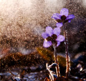 Spring flowers. Liverworts flowers. Royalty Free Stock Photography