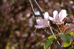 Spring flowers macro view. Blooming apple tree Royalty Free Stock Image