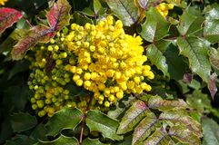 Spring flowers mahonia Royalty Free Stock Photo