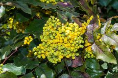 Spring flowers mahonia Royalty Free Stock Image