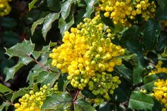 Spring flowers mahonia Royalty Free Stock Photography