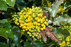 Spring flowers mahonia Stock Images
