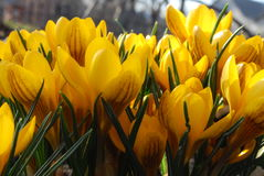 Spring flowers. Many flowering crocuses are in a spring day Royalty Free Stock Photography