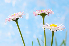 Spring flowers, marguerites Royalty Free Stock Images