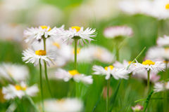 Spring flowers, marguerites in a green meadow Royalty Free Stock Photography