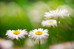 Spring flowers, marguerites in a green meadow Stock Image