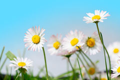 Spring flowers, marguerites in meadow and blue sky Stock Images
