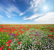 Spring flowers  in meadow. Stock Images
