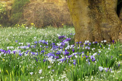 Spring flowers on the meadow. A lot of spring colorful flowers crocuses and snowdrops on the green meadow under the tree on the sunny beautiful day Stock Photo