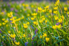 Spring flowers on the meadow. Stock Image