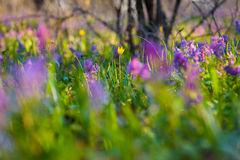 Spring flowers on the meadow. Stock Photography