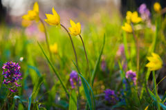 Spring flowers on the meadow. Royalty Free Stock Image