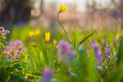 Spring flowers on the meadow. Stock Images