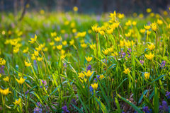 Spring flowers on the meadow. Royalty Free Stock Photo