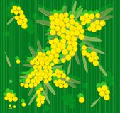 Spring flowers mimosa. Branch of mimosa flowers on green background royalty free illustration